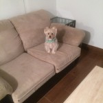 Saratoga-Sofa-Pet-Stain-Cleaning